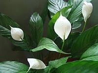 СПАТИФИЛЛУМ - растение 20-25см