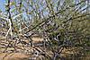 Акация Кручёная семена, фото 3