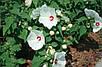 Семена Гибискус белый, фото 3