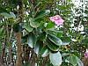 ТАБЕБУЙЯ (Tabebuia rosea)
