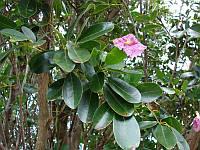 ТАБЕБУЙЯ (Tabebuia rosea), фото 1