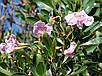 ТАБЕБУЙЯ (Tabebuia rosea), фото 2