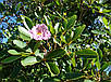 ТАБЕБУЙЯ (Tabebuia rosea), фото 3