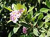 ТАБЕБУЙЯ (Tabebuia rosea), фото 4
