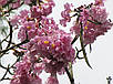 ТАБЕБУЙЯ (Tabebuia rosea), фото 6