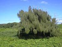 КАЗУАРИНА ХВОЩЕВИДНАЯ (Casuarina equisetifolia), фото 1