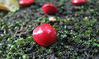 Семена Красный Сандал