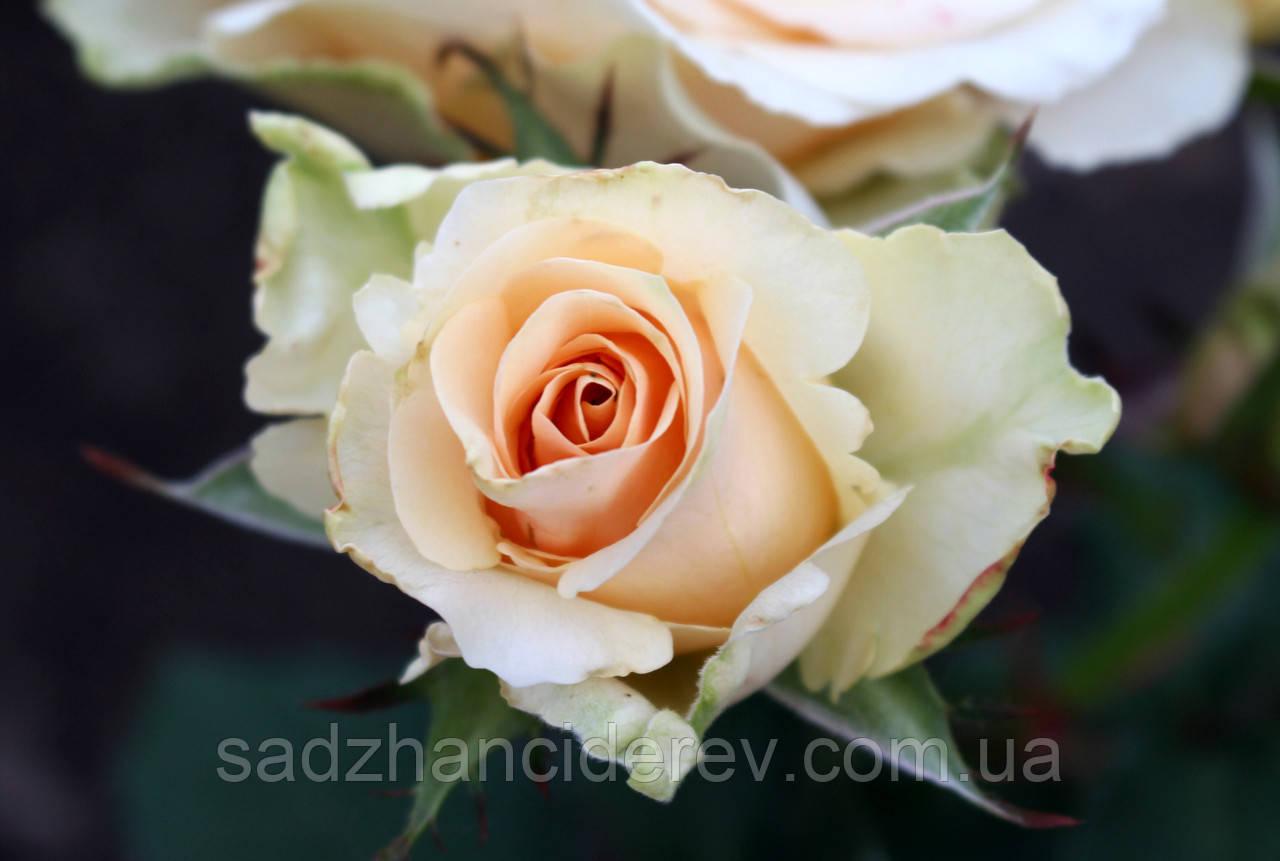 Саджанці троянд Примадонна (Prima Donna, Primadonna)