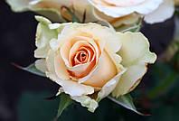 Саджанці троянд Примадонна (Prima Donna, Primadonna), фото 1