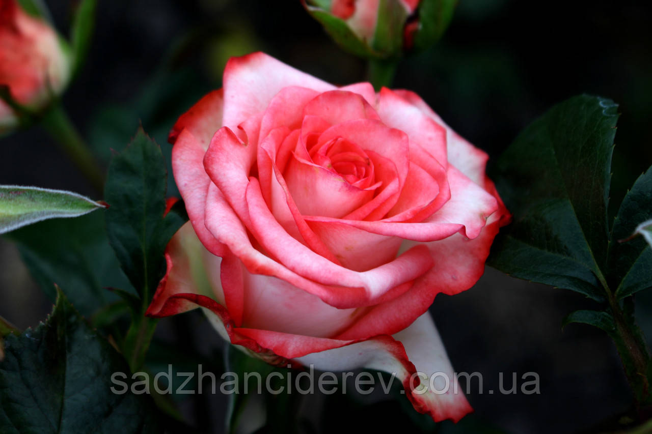 Саджанці троянд Блаш (Blush)