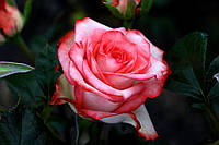 Саджанці троянд Блаш (Blush), фото 1