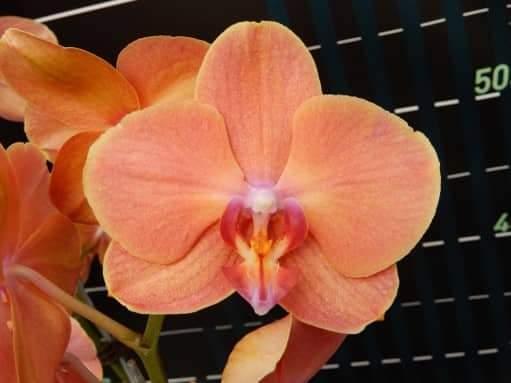"""Уценка, дефекты листьев. Подростки орхидеи. Сорт Phal. Papaya, размер 1.7"""" без цветов"""