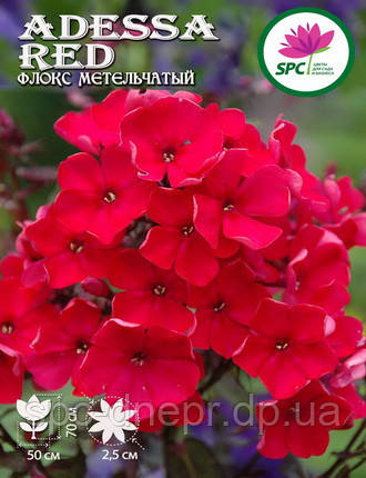Флокс метельчатый Adessa Red, фото 2