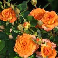 Саженцы розы сорта Оранж Микадо (Orange Mikado)