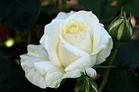 Саджанці троянд Шопен (Chopin), фото 1