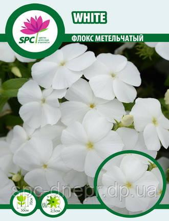 Флокс метельчатый White