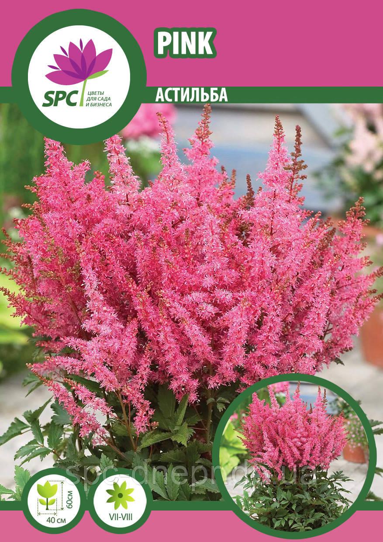 Астильба Pink