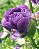 Тюльпан Blue Wow Новинка   10/11