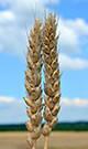 """Пшеница """"ПОВЕЛІЯ"""""""