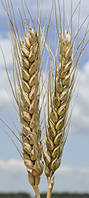 "Семена пшеницы ""БЛАГОДАРКА ОДЕСЬКА"""
