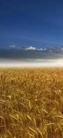 """Семена пшеницы """"БУНЧУК"""""""