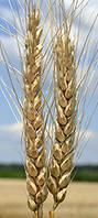 """Семена пшеницы """"Эпоха одесская """""""