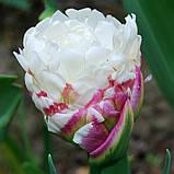 Тюльпан ICE CREAM Новинка   11/12, фото 3