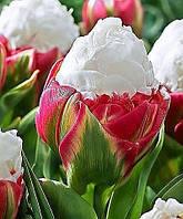 Тюльпан Double Polar  11/12 новый сорт