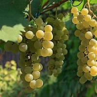 Виноград Цитронный Магарача (черенки)