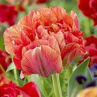 Тюльпан  Gudoshnik Double 11/12 гигантский цветок