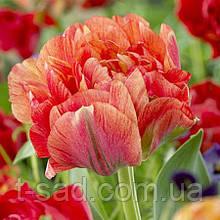 Тюльпан Gudoshnik Double 11/12 гігантський квітка