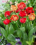Тюльпан  Gudoshnik Double 11/12 гигантский цветок, фото 2