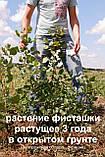 Семена фисташки (10 штук) орехи Pistácia véra для сеянцев и саженцев, горіх насіння фісташкі для саджанців, фото 3