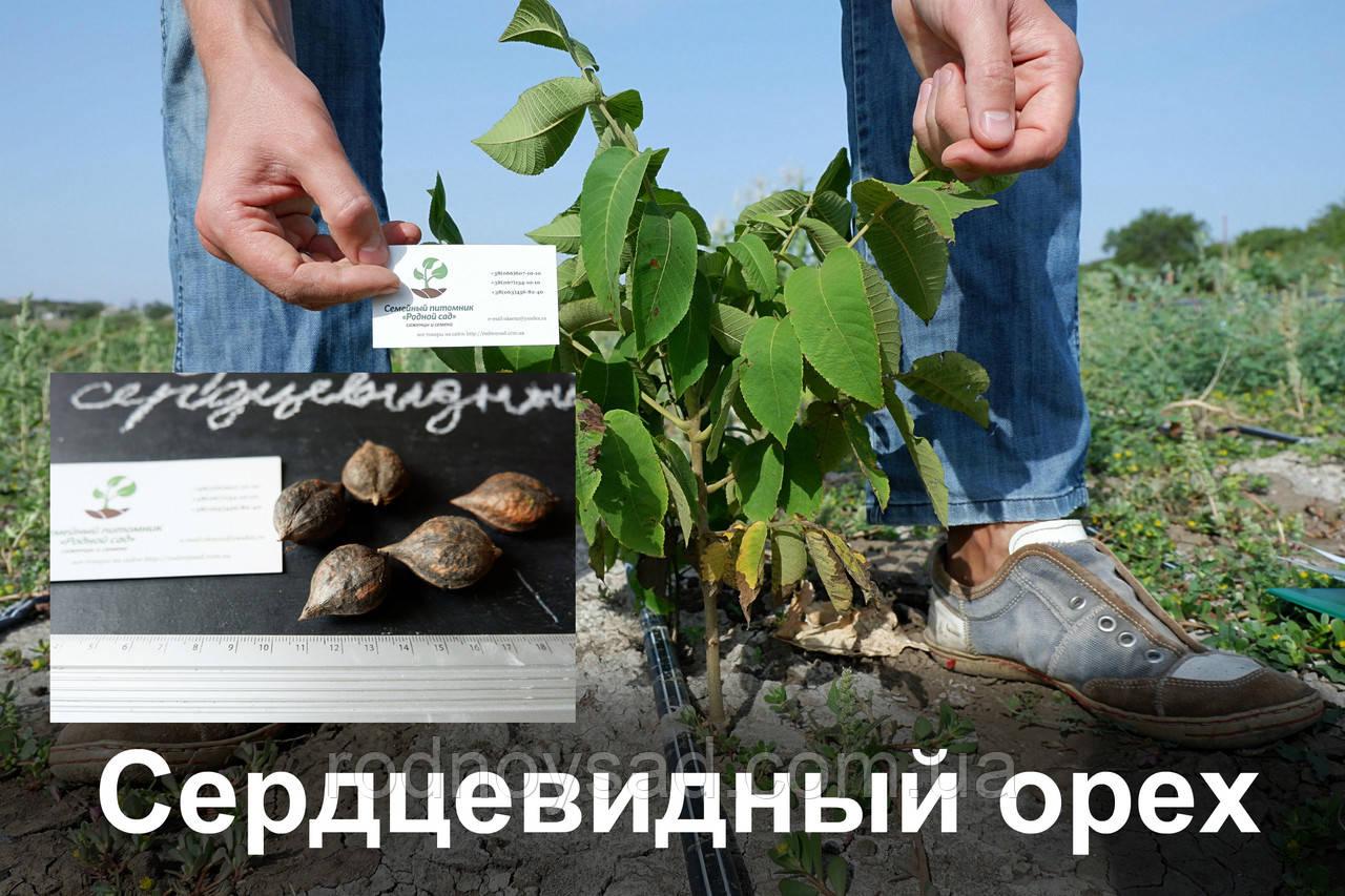 Сердцевидный орех саженцы (саджанці серцевидний горіх) с открытой корневой системой