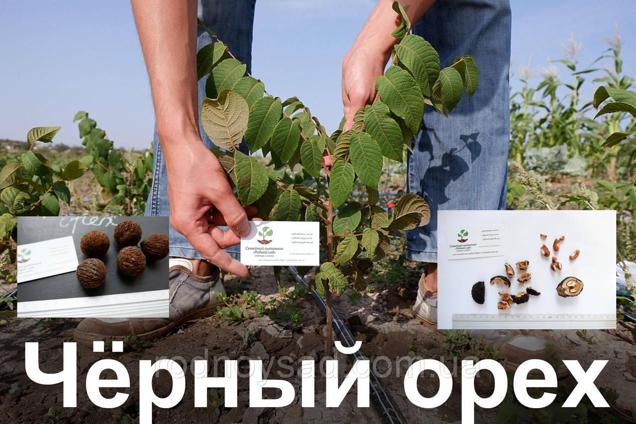 Черный орех саженцы, (родственник грецкого), саджанці чорного горіха  Juglans nigra