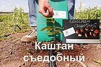 Каштан съедобный саженцы (Castánea satíva орех посевной) горіх каштан їстівний саджанці
