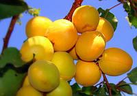 Косточки сортового абрикоса