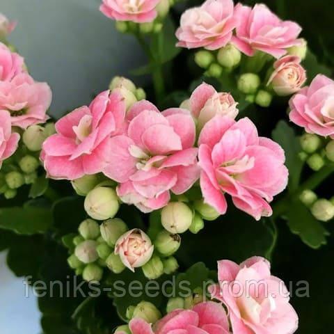 Каланхоэ Блоссфельда розовый цветущее растение