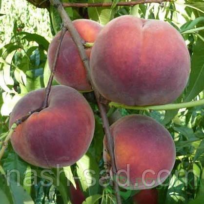 Саженцы персика Роял Джим(Royal Jim) США