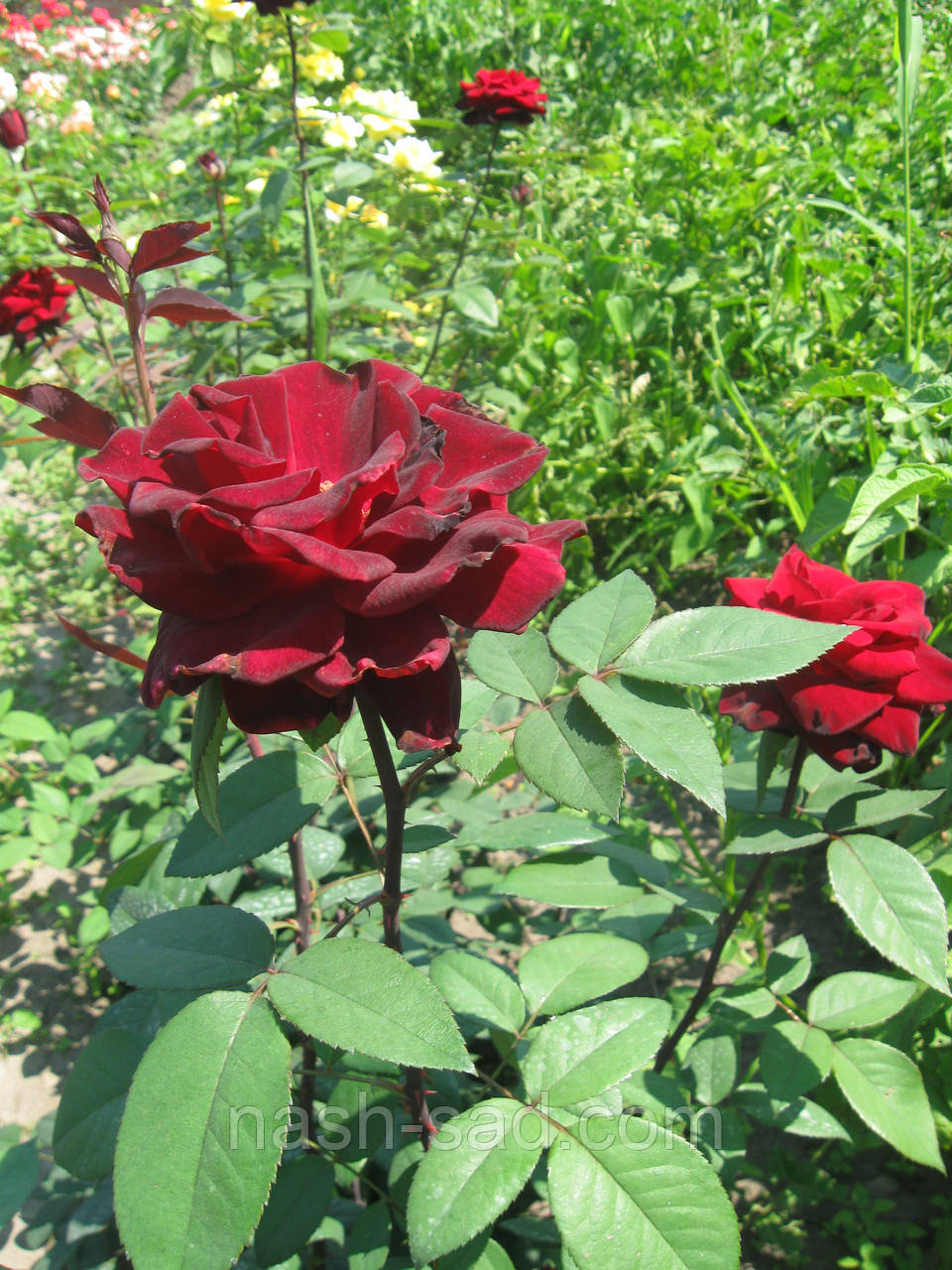 Саженцы розы Норита