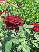 Саженцы розы Норита, фото 1