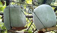 ВОСКОВАЯ ТЫКВА (Benincasa hispida), фото 1