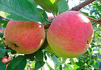 Саженцы яблони летних сортов