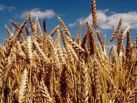 Семена озимой пшеницы Шестизерная (элита)