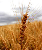 Семена озимой пшеницы Шпаловка (1 репродукция)