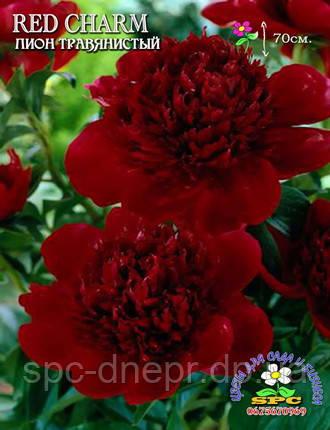 Пион травянистый Red Charm, фото 2