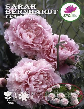 Пион травянистый Sarah Bernhardt , фото 2