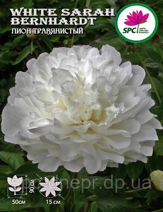Пион травянистый White Sarah Bernhardt , фото 2