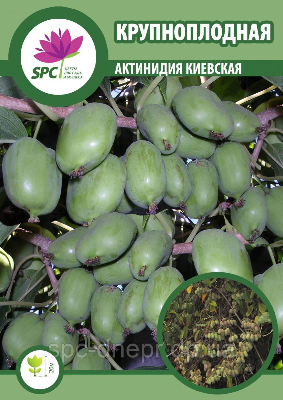 Актинидия киевская крупноплодная