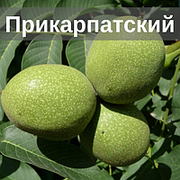 Саженцы ореха Прикарпатский (Однолетний)